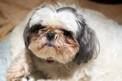 Shih Tzu dog with dirty face Stock Photo