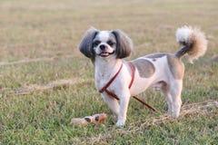 Shih Tzu dog. Shih Tzu dog in the evening at park royalty free stock image