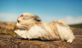 Shih tzu dog. Fast running on stones royalty free stock images