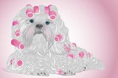 Shih tzu dog Stock Images