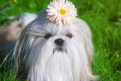 Shih tzu dog Stock Photos