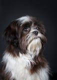 Shih tzu dog. Shih Tzu in front of a black background Stock Images