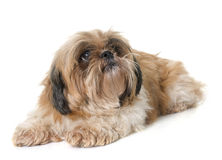 Shih tzu dog. In front of white background stock image