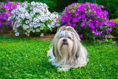 Shih tzu dog in garden. With flowers on green grass royalty free stock photography