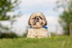 Shih Tzu dog in garden. Shih Tzu dog portrait in garden stock photos