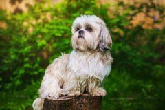 Shih tzu dog in garden. Sitting on stump and looking aside royalty free stock photo