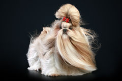 Shih tzu dog, glamour studio-shooting. On dark background Stock Image