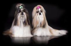 Shih tzu dog Stock Image