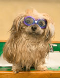 Shih Tzu Dog Goggles bath swimming kitchen sink. A Shih Tzu dog wearing swim goggles getting his bath in the kitchen sink (or ready to go swimming royalty free stock photos