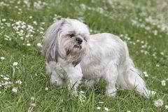Shih tzu dog on the grass stock photography