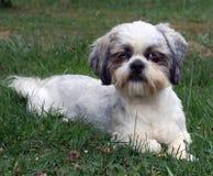 Shih Tzu dog in grass. Closeup of a small Shih Tzu dog resting in green grass Stock Images