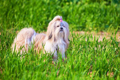 Shih tzu dog. On grass royalty free stock photo