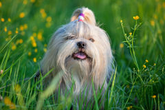 Shih tzu dog Royalty Free Stock Images