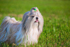 Shih tzu dog. On grass stock images