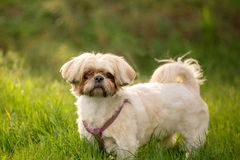Shih tzu dog in grass. Shih tzu domestic dog in grass outdoors on a sunny day royalty free stock image