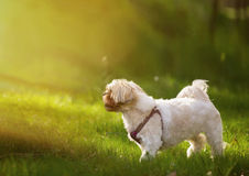 Shih tzu dog in grass. Shih tzu domestic dog in grass outdoors on a sunny day stock image