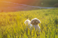Shih tzu dog in grass. Shih tzu domestic dog in grass outdoors on a sunny day stock images