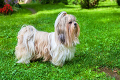 Shih tzu dog. On green grass royalty free stock photos