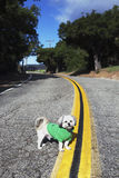 Shih Tzu Dog with green hoody on in middle of road on double yellow road, Ojai, California, USA Stock Photography