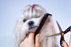 Shih tzu dog grooming. With comb and scissors royalty free stock image