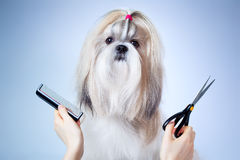 Shih tzu dog grooming. On blue and white background royalty free stock images