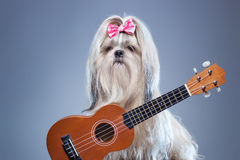 Shih tzu dog with guitar. Shih tzu dog with small guitar on blue background royalty free stock photography