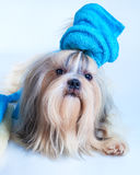 Shih tzu dog hair style. With towel in grooming salon concept. On white background royalty free stock photo