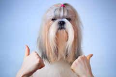 Shih tzu dog handsign. On blue and white background royalty free stock photos