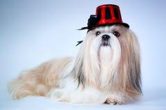 Shih tzu dog in hat. Portrait stock image