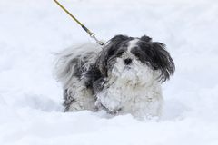 Shih tzu dog on a leash in snow. Pet Shih tzu dog on a leash in snow royalty free stock images