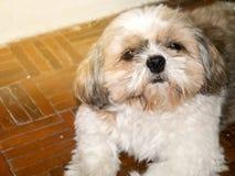 dog shi tzu stock images