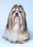 Shih tzu dog. With long hair front view. On bright white and blue background stock photos