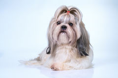 Shih tzu dog. With long hair front view. On bright white and blue background royalty free stock images