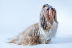 Shih tzu dog. With long hair sitting and looking aside on white and blue background stock image
