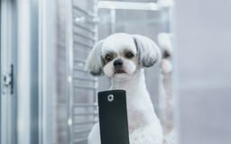 Shih tzu dog royalty free stock photography
