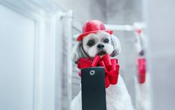 Shih tzu dog. Looking at mirror and making selfie. Photo after grooming with red fashion accessories stock image