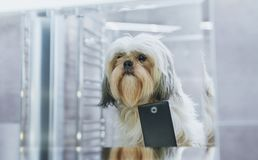 Shih tzu dog. Looking at mirror and making selfie. Photo before grooming stock images