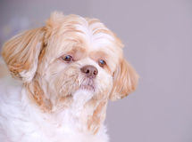 A shih tzu dog is looking at the outside. When it see something stock photos