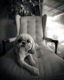 Shih Tzu Dog Lounging on Chair Stock Image