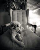 Shih Tzu Dog Lounging på stol Fotografering för Bildbyråer
