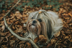 Shih tzu dog. Lying on autumn foliage stock image