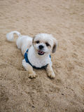 Shih tzu dog is lying on the beach. Shih tzu dog is lying on sand beach royalty free stock photography
