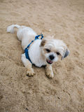 Shih tzu dog is lying on the beach royalty free stock photography