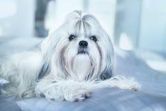 Shih tzu dog lying on bed Stock Photos