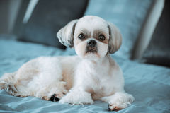 Shih tzu dog. Lying on bed in modern interior royalty free stock photography