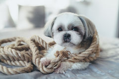 Shih tzu dog. Lying on bed and playing with big rope. Bright white colors royalty free stock photos