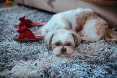 Shih tzu dog. Lying on carpet with owner slippers in home interior stock photography