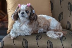 Shih Tzu dog lying on a chair. Looking directly at the camera, beautiful decor in gold tones, cute dog royalty free stock photography
