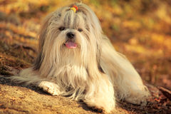 Shih-tzu dog Stock Photography