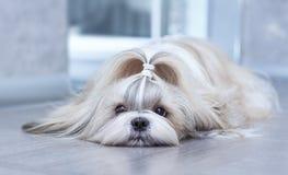 Shih tzu dog. Lying in home interior stock photo